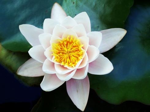 fleur-de-lotus-photo-libre.jpg